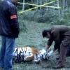 <h3>Un vrai cadavre de tigre, dont j'ai du prendre grand soin (de la décongélation au lavage en passant par le brossage … )</h3>